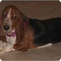 Adopt A Pet :: Kachina - Phoenix, AZ