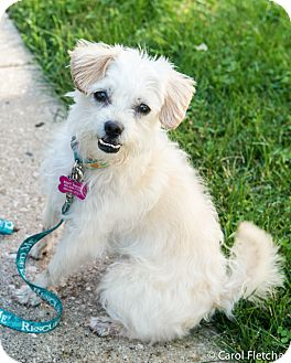 Maltese Mix Dog for adoption in Wethersfield, Connecticut - Hopscotch