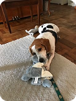 Beagle Mix Dog for adoption in New York, New York - Bradley Adoption pending