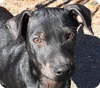 Whippet/Miniature Pinscher Mix Puppy for adoption in Pennigton, New Jersey - Salmon