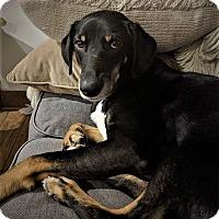 Doberman Pinscher/Hound (Unknown Type) Mix Dog for adoption in Glastonbury, Connecticut - Liyah~meet me~new video!