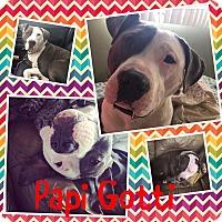 Adopt A Pet :: Gotti - Flossmoor, IL