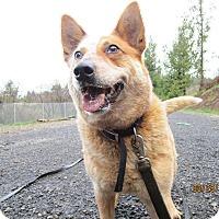 Adopt A Pet :: Barley - Tillamook, OR