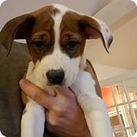 Adopt A Pet :: Annika - bridgeport, CT