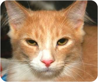 Domestic Mediumhair Cat for adoption in San Ramon, California - Jake