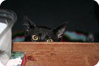 Domestic Shorthair Kitten for adoption in Santa Rosa, California - Isis