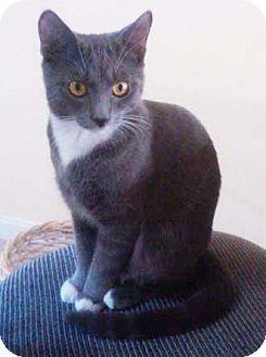 Domestic Shorthair Kitten for adoption in Merrifield, Virginia - Kissy