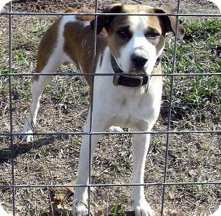 Boxer/Hound (Unknown Type) Mix Dog for adoption in Moulton, Alabama - Butch