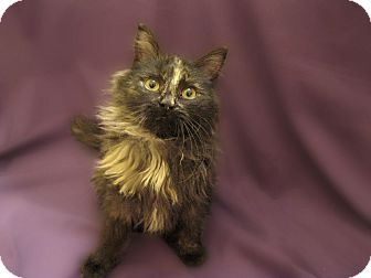 Domestic Shorthair Kitten for adoption in Richmond, Virginia - Eclair