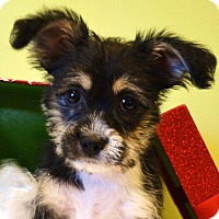 Adopt A Pet :: *Dexter - PENDING - Westport, CT