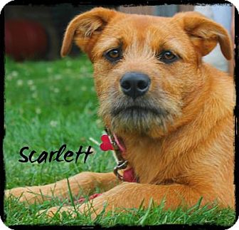 Cairn Terrier/Terrier (Unknown Type, Small) Mix Dog for adoption in East Smithfield, Pennsylvania - Scarlett