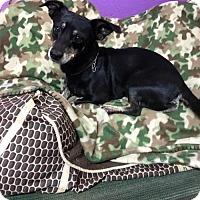 Dachshund Mix Dog for adoption in York, South Carolina - Half Pint