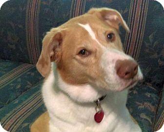 Australian Shepherd/Basset Hound Mix Dog for adoption in Gilmer, Texas - Daisy