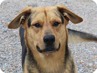 Shepherd (Unknown Type) Mix Dog for adoption in kennebunkport, Maine - Melvin - foster Needed