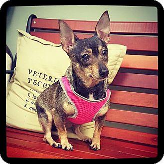 Chihuahua Mix Dog for adoption in Grand Bay, Alabama - Sara