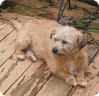 Norfolk Terrier Mix Dog for adoption in Lexington, Kentucky - Ella