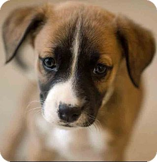 Boxer Mix Puppy for adoption in Gahanna, Ohio - ADOPTED!!!   Ethridge
