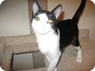 Domestic Shorthair Cat for adoption in Fountain Hills, Arizona - MONA