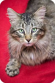 Maine Coon Cat for adoption in Chicago, Illinois - Forrest