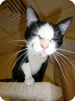 Domestic Shorthair Cat for adoption in Lake Charles, Louisiana - Bobcat
