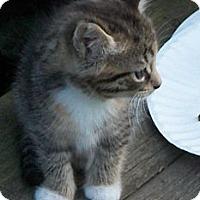 Adopt A Pet :: Tabby Girl - Acme, PA