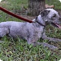Adopt A Pet :: Indie - Jupiter, FL