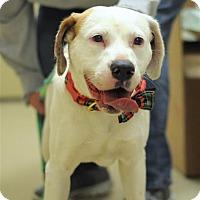 Adopt A Pet :: Cora - Fairfax Station, VA