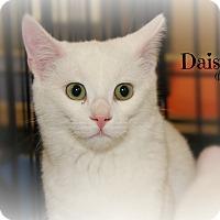 Adopt A Pet :: Daisy - Springfield, PA
