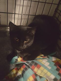 Domestic Shorthair Cat for adoption in Virginia Beach, Virginia - Onyx