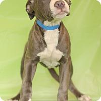 Adopt A Pet :: Comet - Waldorf, MD