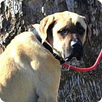 Adopt A Pet :: Toffee - Goodyear, AZ