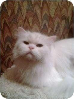 Persian Cat for adoption in Greenville, South Carolina - Snowflake