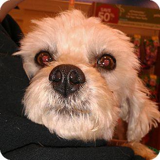Maltese/Poodle (Miniature) Mix Dog for adoption in Phoenix, Arizona - Monty - no shed maltipoo!