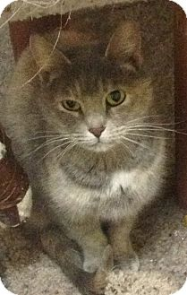 Domestic Longhair Cat for adoption in Schererville, Indiana - Momma