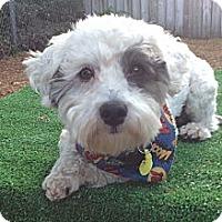 Adopt A Pet :: Cheeto - Largo, FL