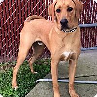 Adopt A Pet :: Charlie - Bardonia, NY