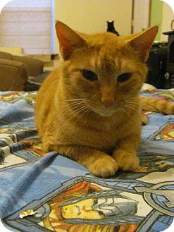 Domestic Shorthair Cat for adoption in Covington, Kentucky - Peep