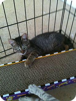 American Shorthair Kitten for adoption in Horseshoe Bay, Texas - Charlie