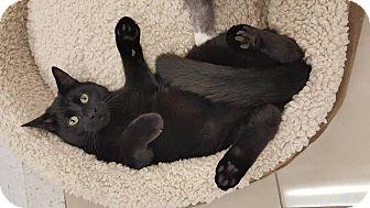 Domestic Shorthair Kitten for adoption in Frisco, Texas - Oliver