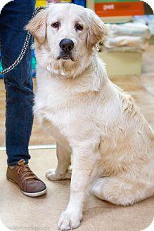 Golden Retriever Dog for adoption in Rigaud, Quebec - Farley