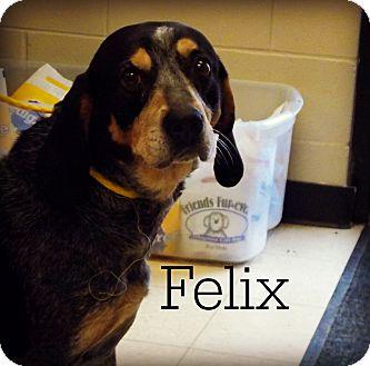 Bluetick Coonhound Dog for adoption in Defiance, Ohio - Felix