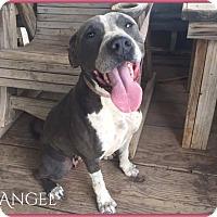 Adopt A Pet :: Angel - DeForest, WI