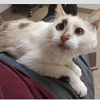 Domestic Shorthair Cat for adoption in Exton, Pennsylvania - Abigail