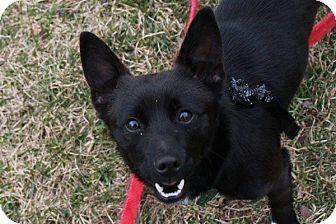 Schipperke Mix Puppy for adoption in Hastings, New York - Merlin