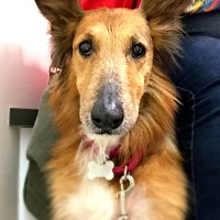 Collie/Sheltie, Shetland Sheepdog Mix Dog for adoption in Detroit, Michigan - Maggie-Pending!