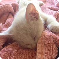 Adopt A Pet :: Lotus - Dallas, TX