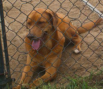 Redbone Coonhound/Labrador Retriever Mix Dog for adoption in Nashville, Georgia - Zeva