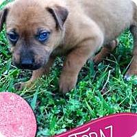 Adopt A Pet :: Topaz - Marlton, NJ