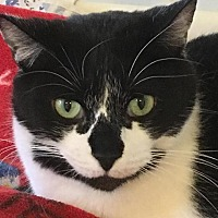 Domestic Shorthair Cat for adoption in Bourbonnais, Illinois - RAIN