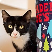 Domestic Shorthair Cat for adoption in Fountain Hills, Arizona - Blitz II